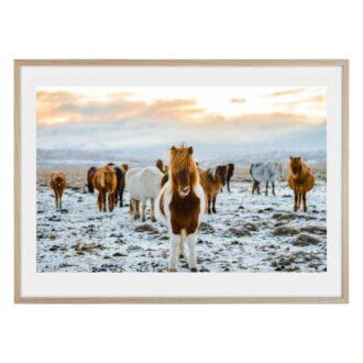 Islandshästar i snön